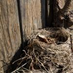 Auf dem Bild ist ein unbewohntes Vogelnest, dass auf dem Ast eines Aprikosenbaumes liegt. Im Hintergrund ist eine Holzfassade.