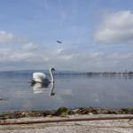 Das Bild wurde in der Froschperspektive aufgenommen. Es zeigt einen Schwan auf dem Zugersee der sich im Wasser spiegelt. Im Vordergrund sieht man noch etwas Boden. Im Hintergrund das andere Ufer und den bewölkten Himmel.