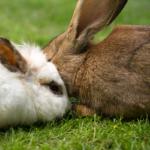 Ein weisses und ein braunes Kaninchen die zusammen im grünen Gras liegen. Das weisse ist links, das braune rechts, sie berühren sich an den Wangen.
