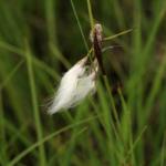 Eine weisse Pflanzenfaser die im grünen Gras hängt
