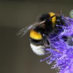 Eine Hummel die eine dunkel violette Blume bestäubt