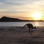 Ein Kängeruh das vor dem Meer durch den Sonnenuntergang hüpft