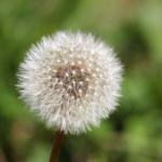 Eine verblühte Blume des Löwenzahns