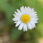 Ein Gänseblümchen vor grünem Hintergrund