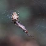 Eine Kreuzspinne die ein anderes Insekt verspeist
