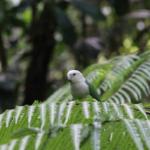 Ein weiss-grüner Vogel auf einem grünen Farnblatt