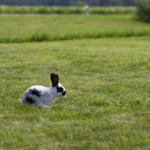 Ein junger schwarz-weisser Hase der über eine grüne Wiese rennt.