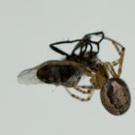 Eine Spinne die sich über eine Fliege her macht.