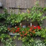 Es ist eine Holzfassade mit einem Fenster. Vor dem Fenster hat es rote Blumen, rechts davon Trauben, links davon ein Spalierbaum.