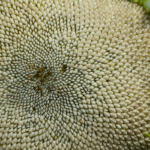 Eine verblühte Sonnenblume mit vielen weissen Kernen.