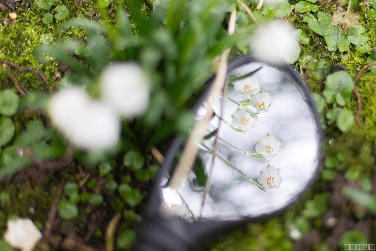 Märzenbecher von Oben fotografiert und im Rückspiegel von unten zu sehen.